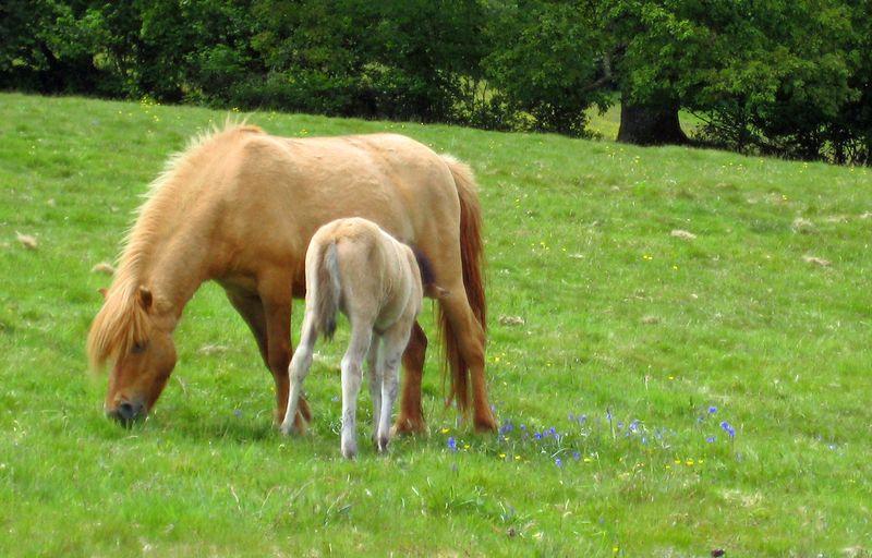 Dartmoor ponies 10 copy