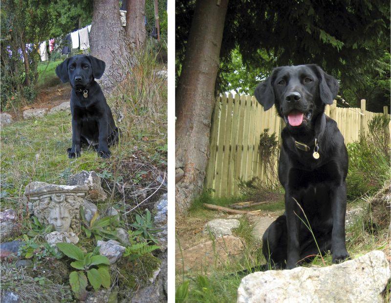Springador Puppy - 3 months - 10 months