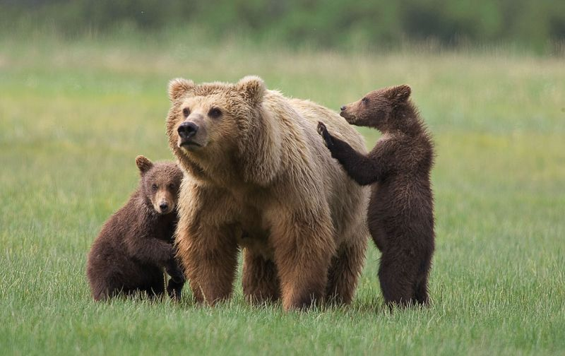 Mama Grizzly & Cubs