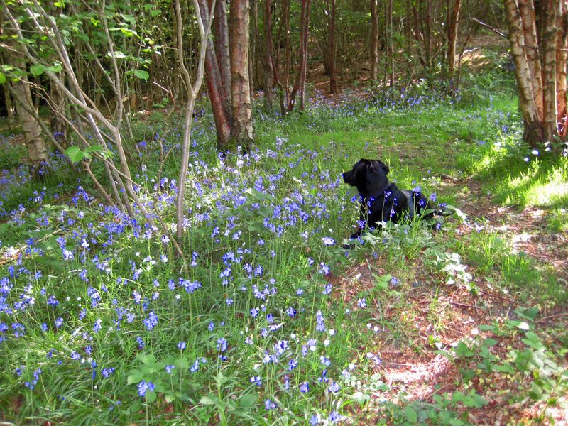 Tilly among the bluebells