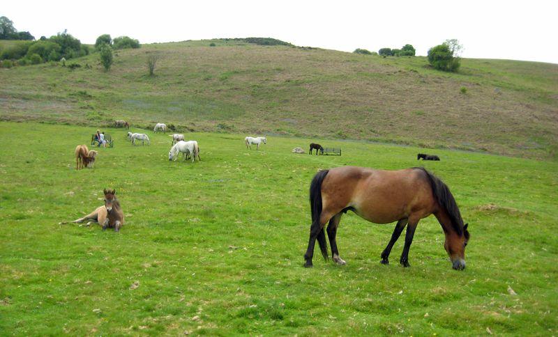 Dartmoor ponies 7 copy