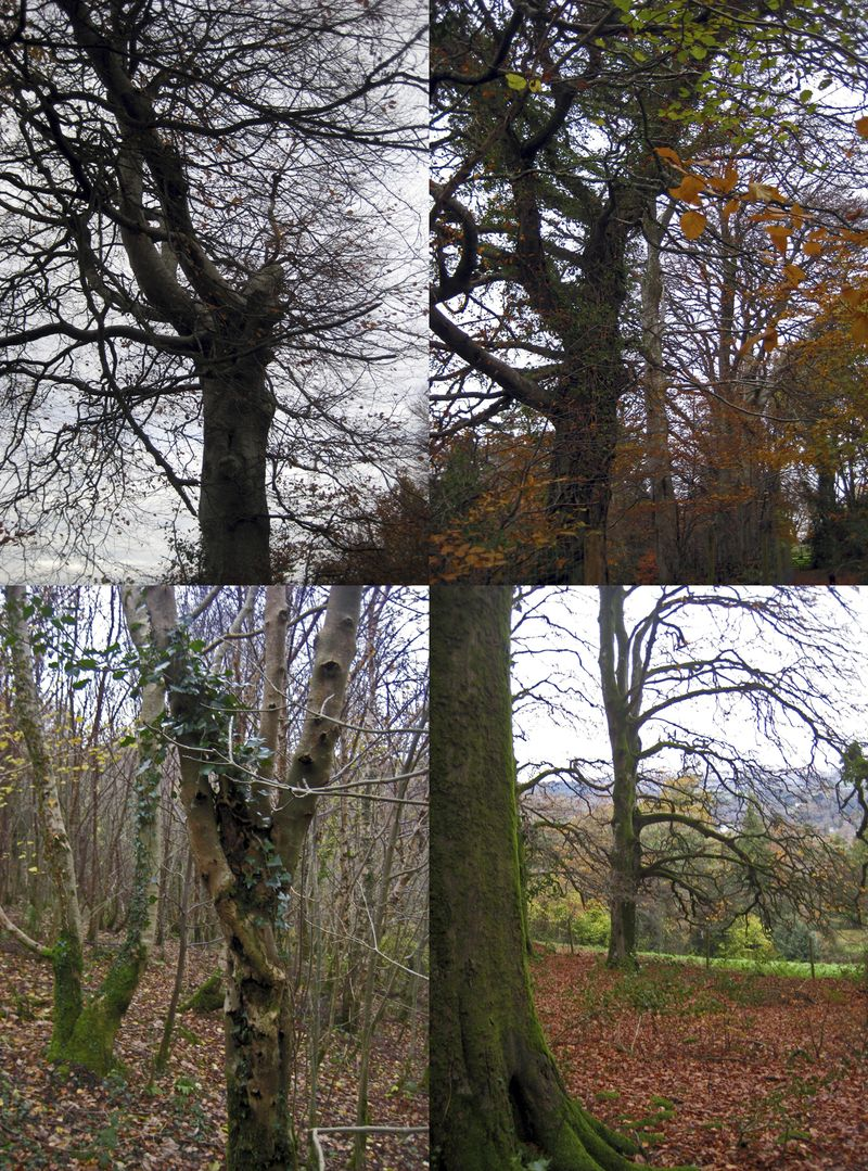 Devon Trees