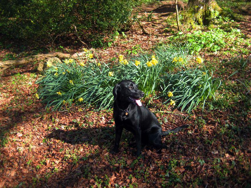 Tilly among the daffodils