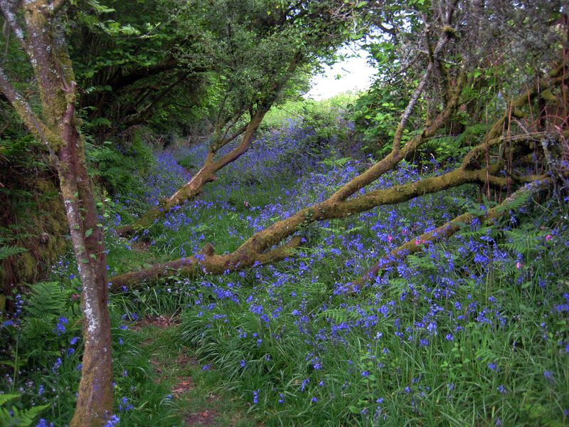 Bluebell Path 4