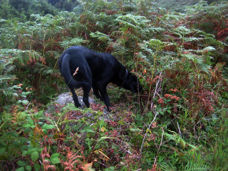 Looking for ripe blackberries