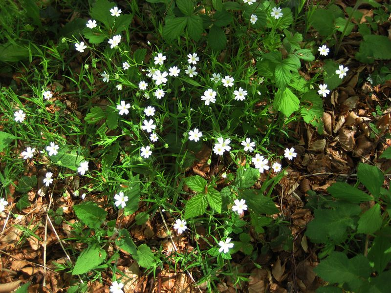 Stitchwort in the early morning sun