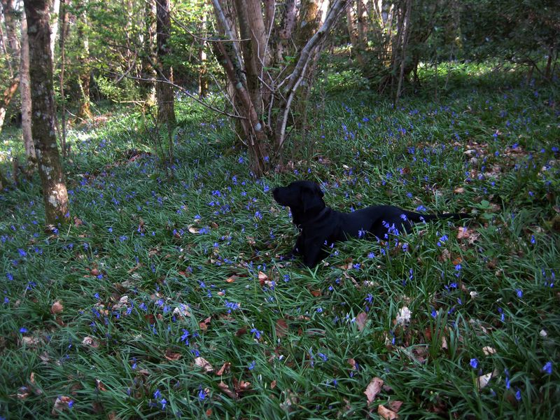 Tilly in a sea of bluebells