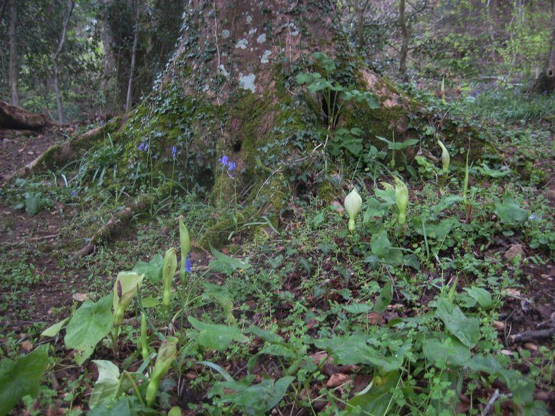 Bluebells and Arum Maculatum