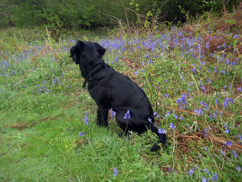 Tilly among the bluebells on Nattadon Hill