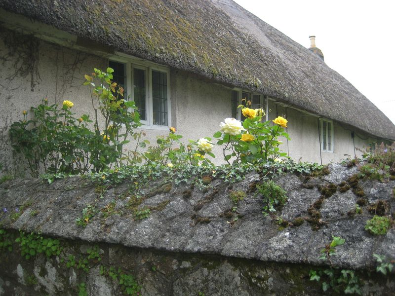 Roses on a cottage wall