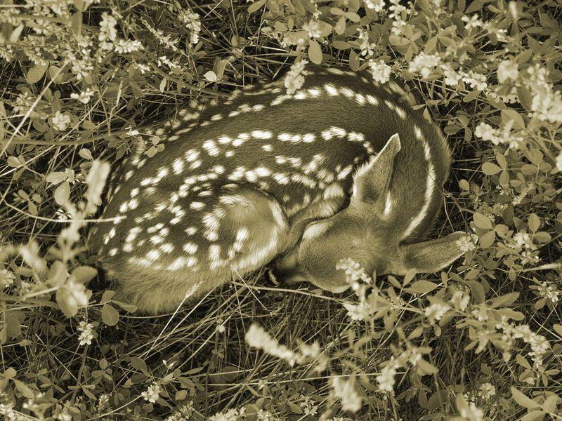 Sleeping Whitetail Fawn