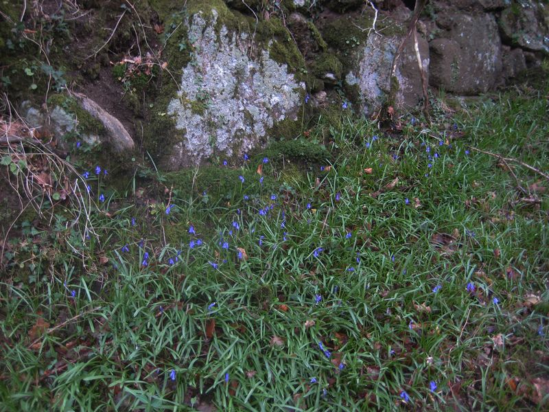 The first of the bluebells