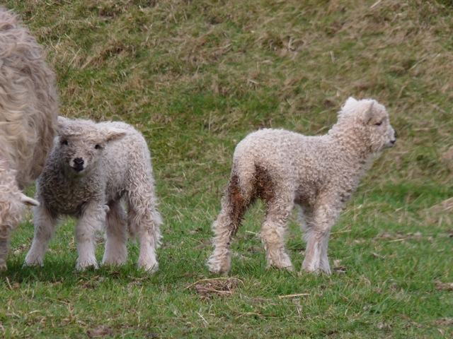 Lambs on the Dales