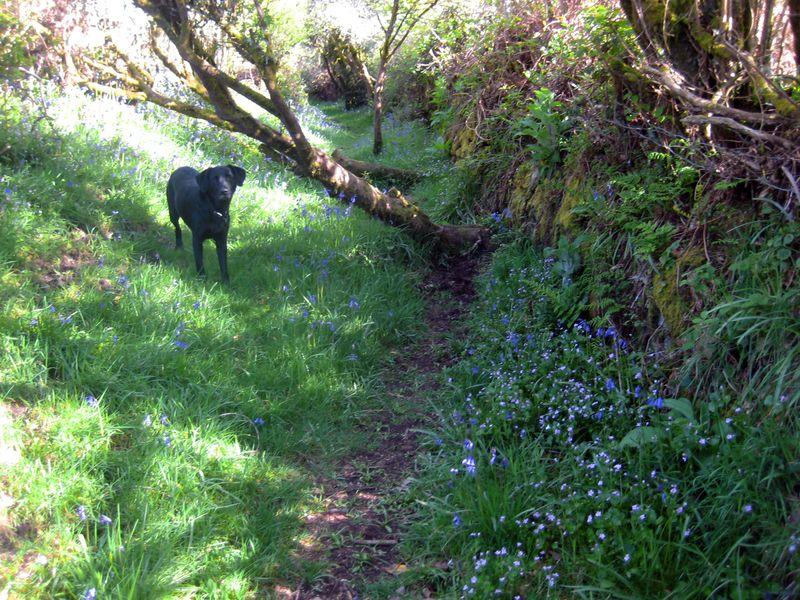 Tilly on the bluebell path 2