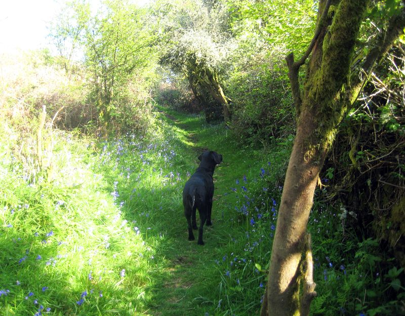 Tilly on the bluebell path 1