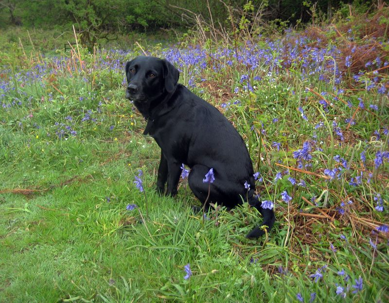 Tilly, a 3-year-old Springador, among the bluebells