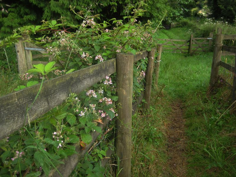 Dartmoor blackberry blossoms