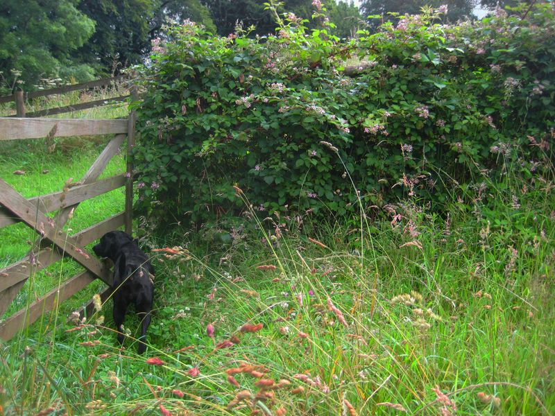 Blackberry brambles and Tilly