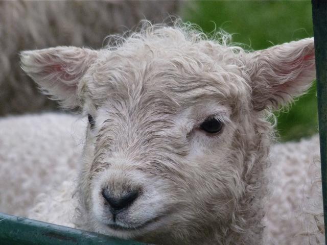 Lamb on Dartmoor by Helen Mason