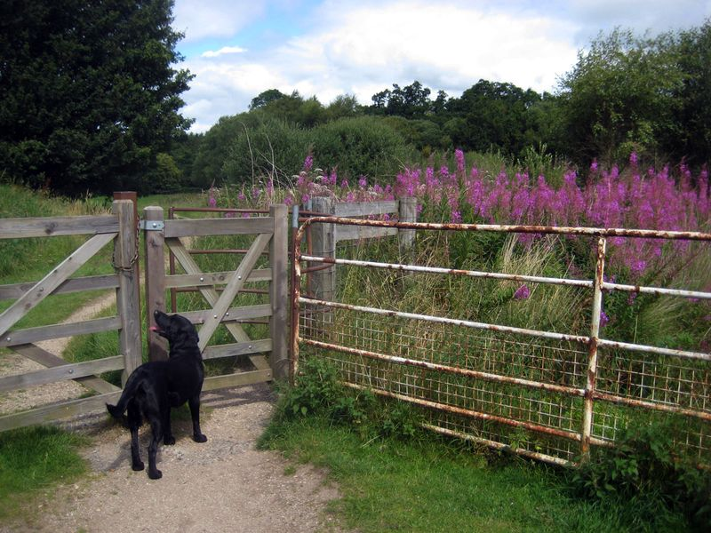 Tilly at the gate, Chagford Commons