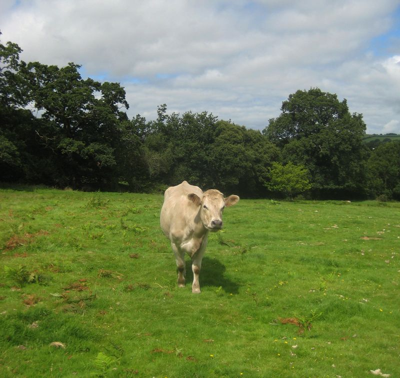 Cow on Chagford Common