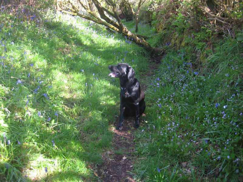 Tilly on the bluebell path 3