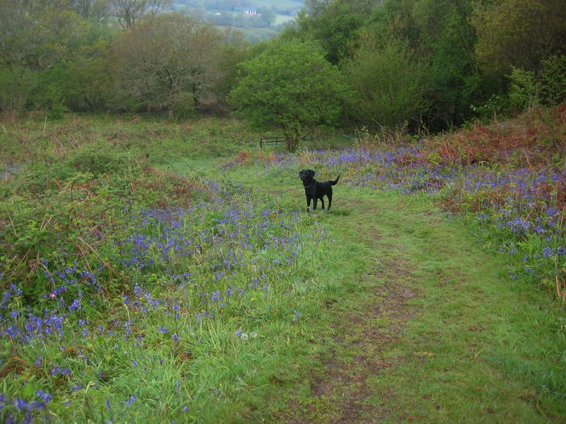 Bluebells on Nattadon Hill