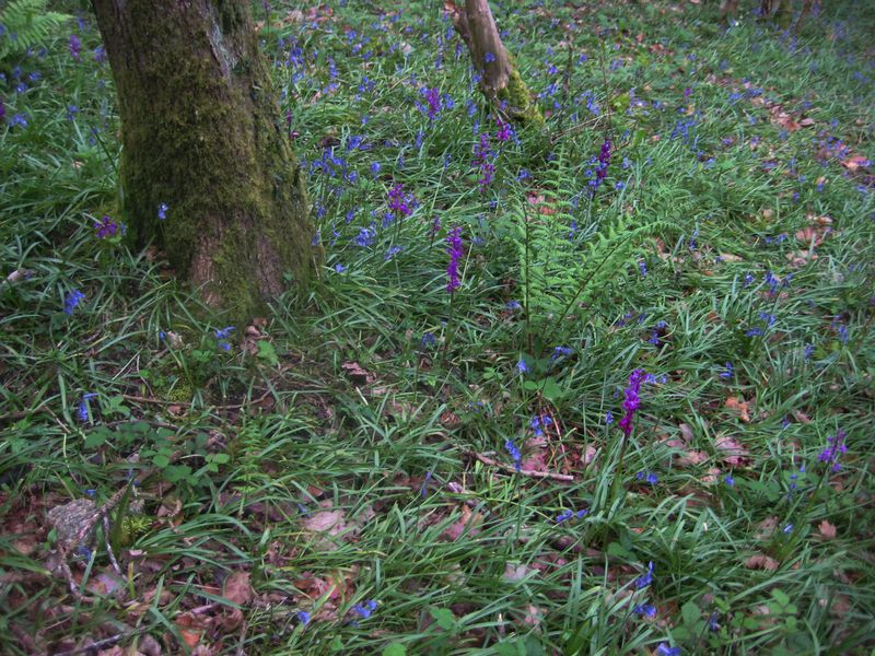 Orchids among the bluebells