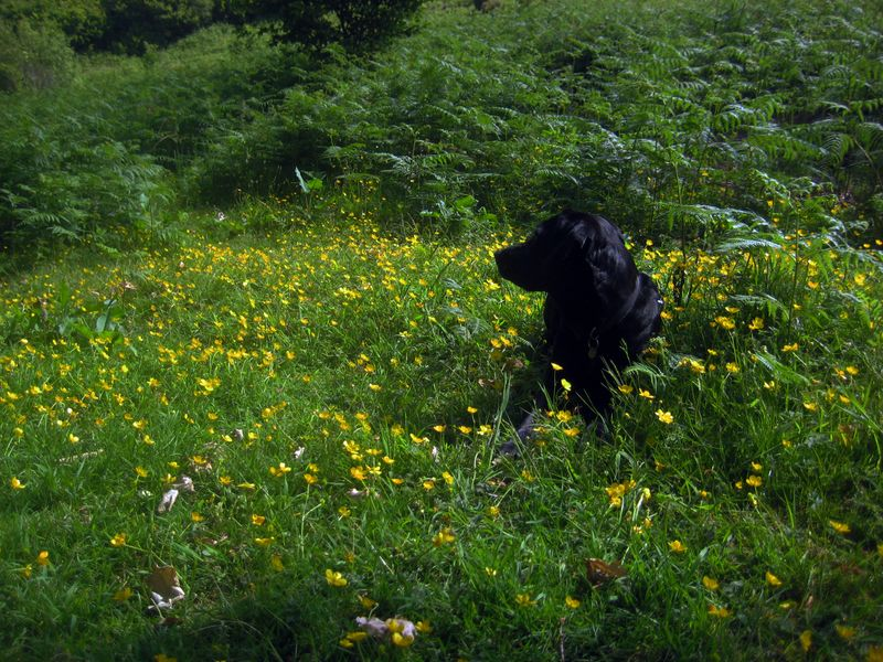 Tilly amid the buttercups