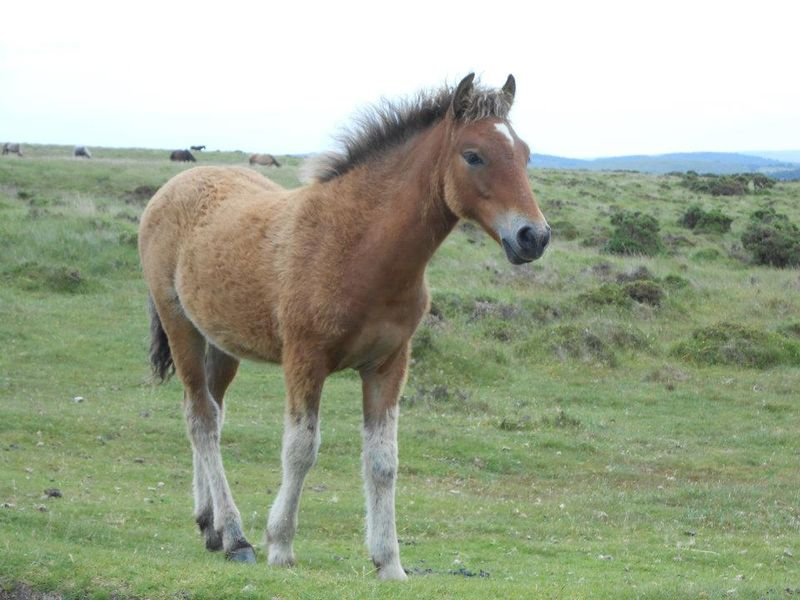 Dartmoor Foal by Sarah Howes