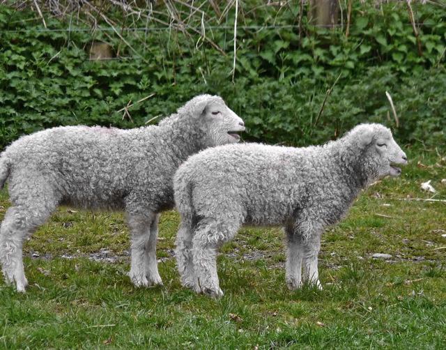 Sheep on Dartmoor by Helen Mason