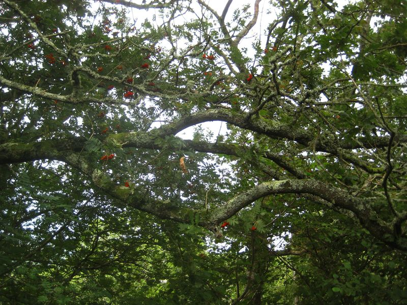 Rowan and oak entwined