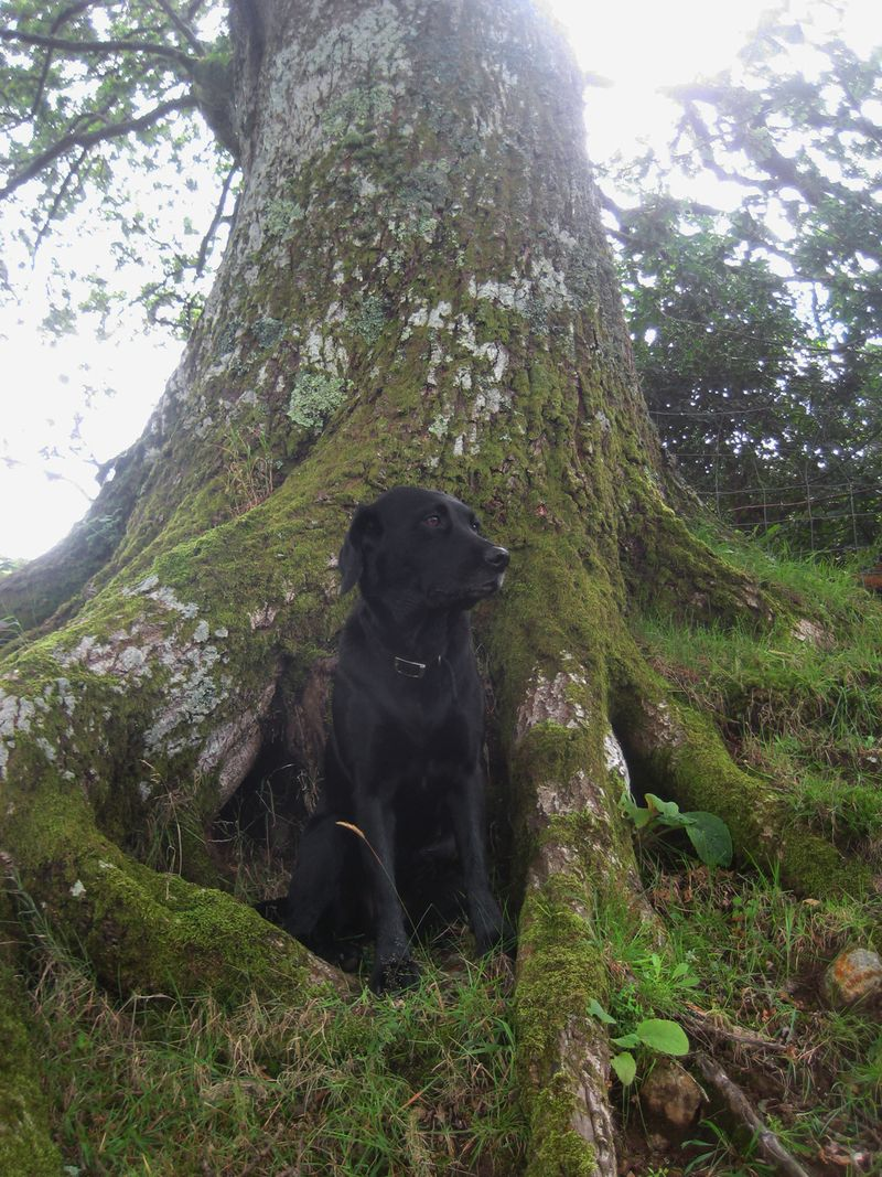 Tilly among the oak roots