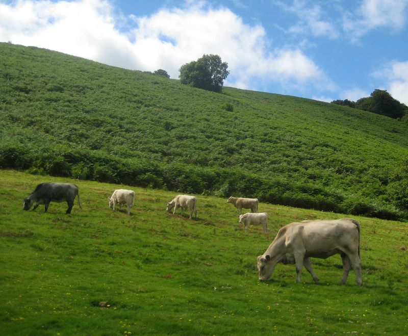 Cows on Chagford Commons
