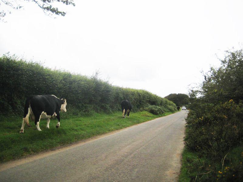 Cows 6* 6x8