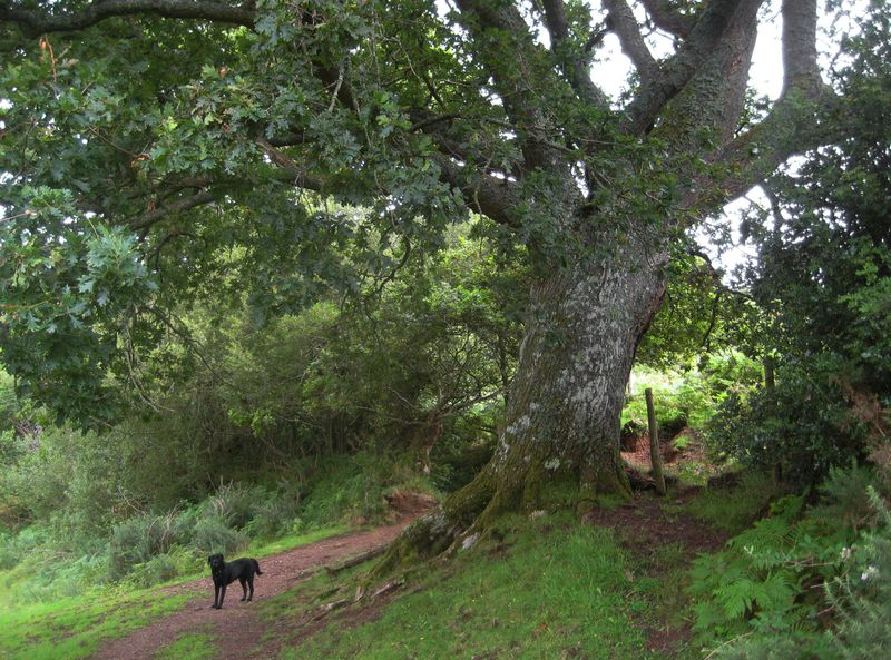 Oak tree, Nattadon Hill