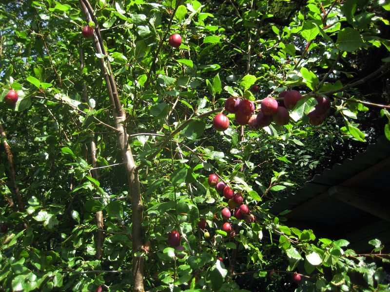 Plums ready to harvest