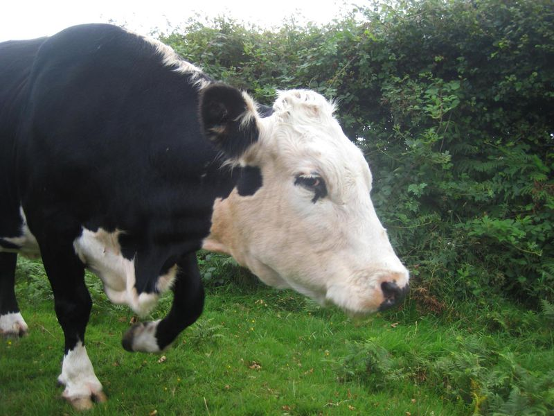 Cows in the lane, 4