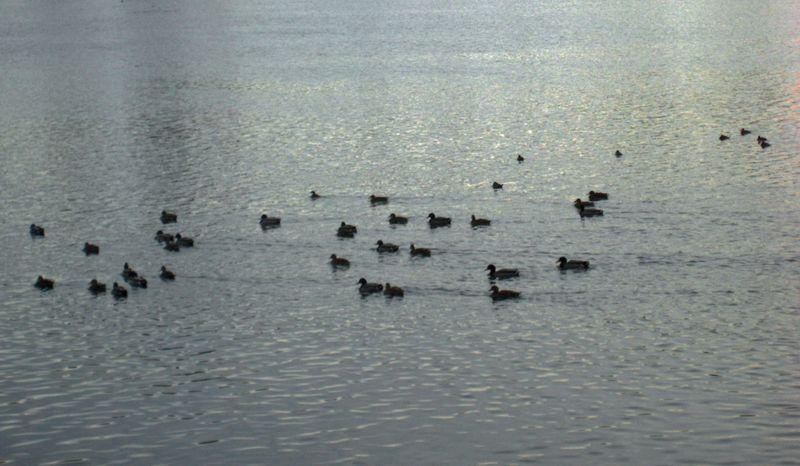...and a Pointillist flotilla of ducks.