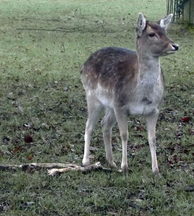 Small deer on Hampstead Heath
