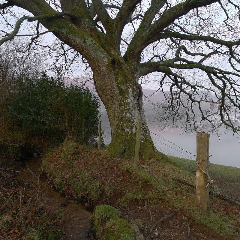 Oak in mist, 2