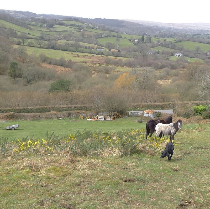 Dartmoor ponies 5