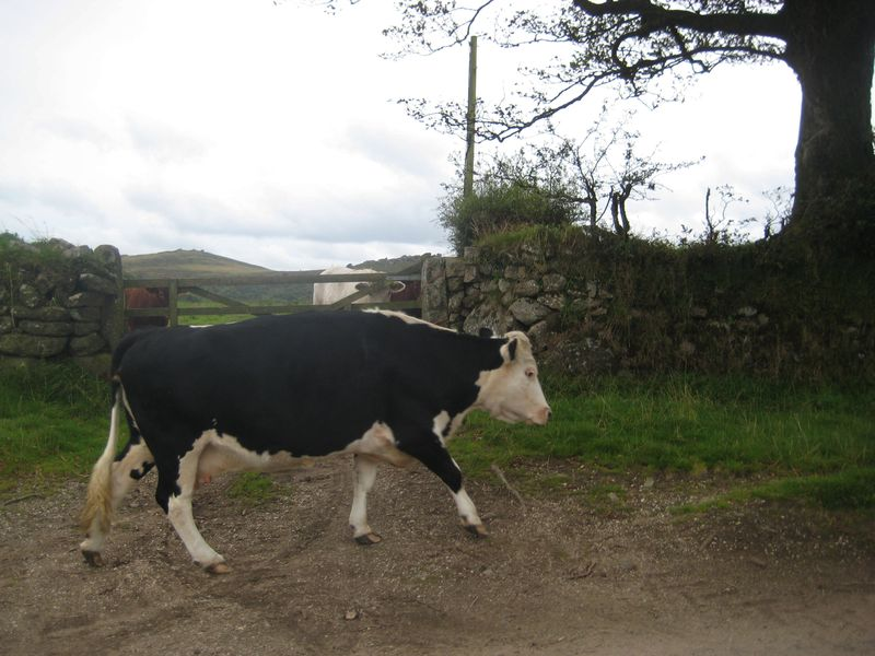 Cows in the lane, 3