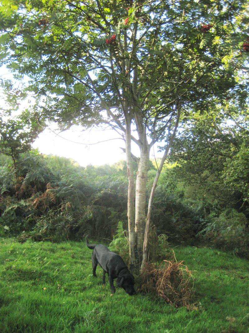 A Dartmoor dog under a rowan tree
