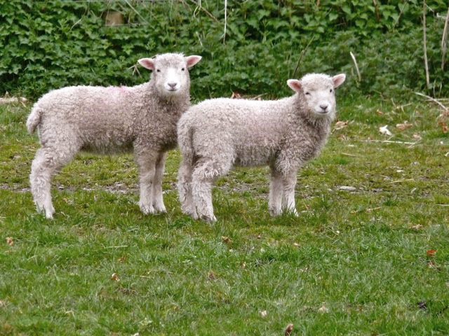 Two Dartmoor lambs by an ivy hedge (photographed by my friend Helen Mason)