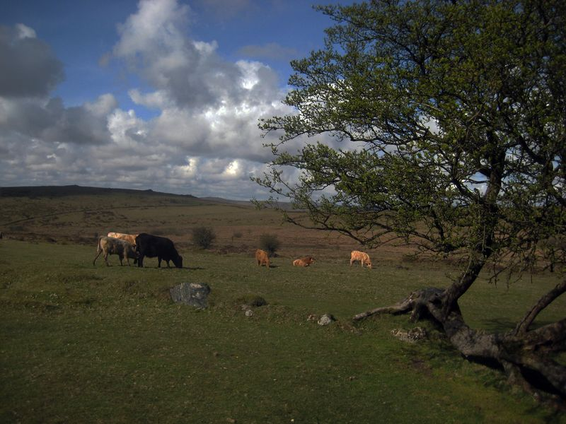 Dartmoor cows grazing near Bronze Age ruins, midsummer.