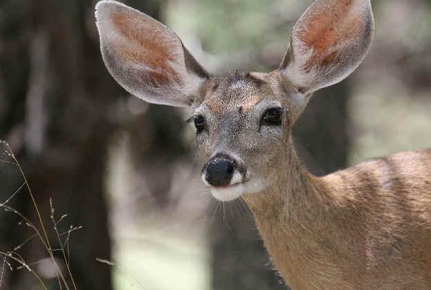 Desert Mule-eared Deer