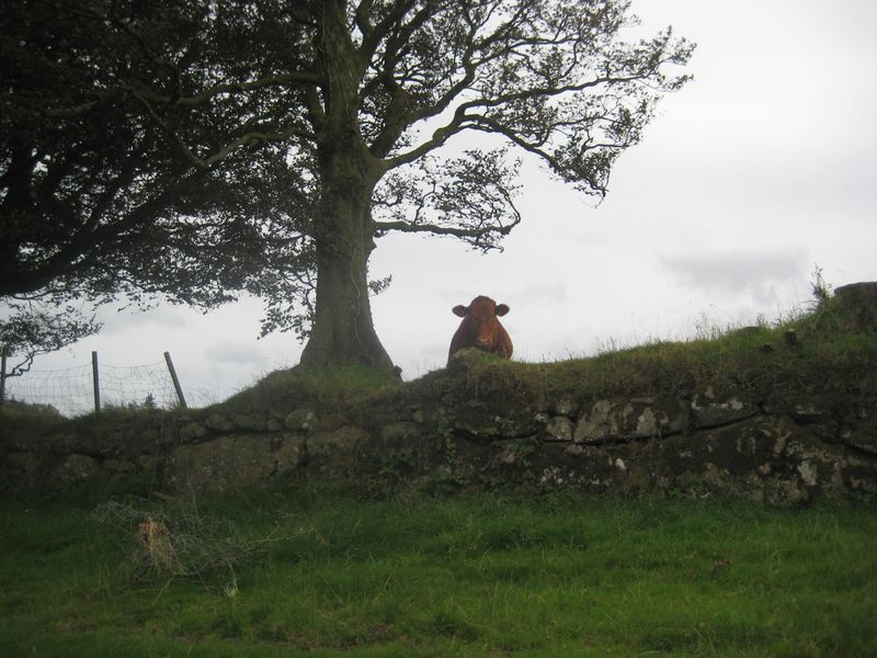 A Dartmoor cow on an old stone wall