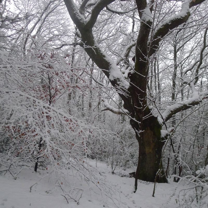 Tree elder in snow