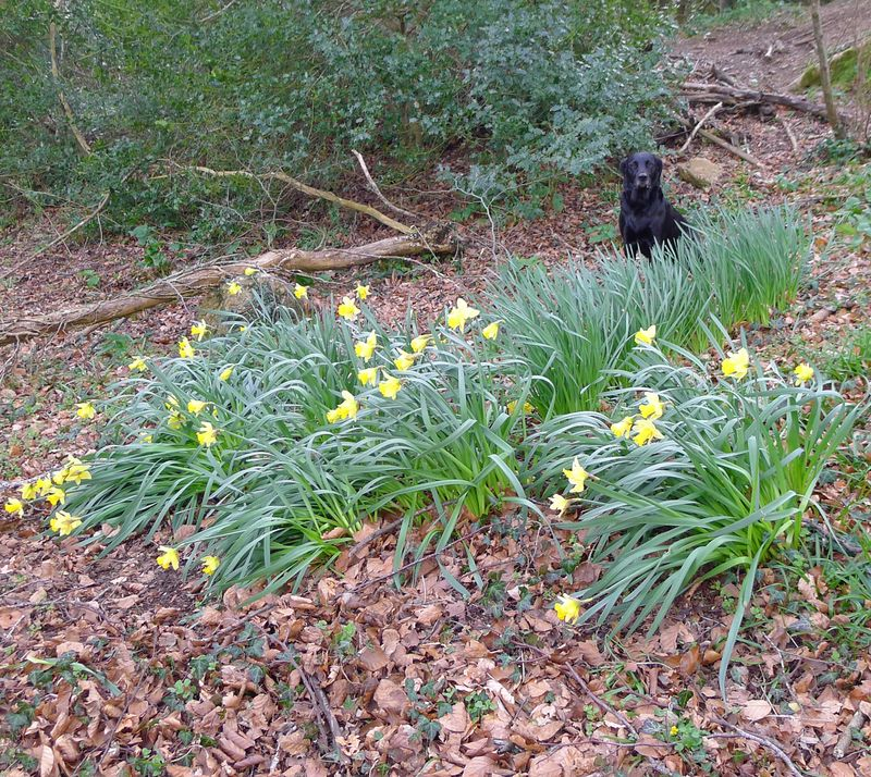 Tilly in the daffodils